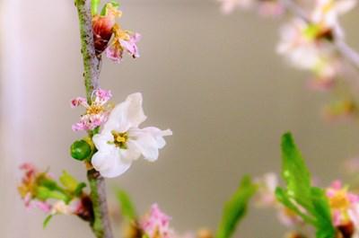s-葉桜3